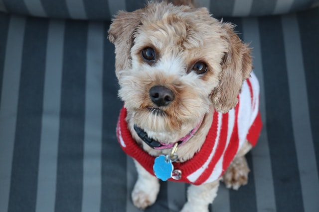 Best Dog Sweaters for Small Dogs